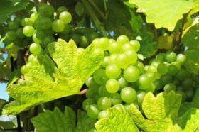Szőlő, fehér szőlő, szőlő gyümölcs